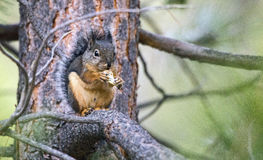 Douglasii del Tamiasciurus dello scoiattolo di Douglas che mangia una nocciola immagini stock