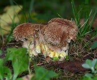 Douglaspine-Pilz vom Garten Lizenzfreies Stockbild