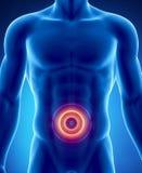 Douleur dans le concept abdominal d'organes Illustration Libre de Droits