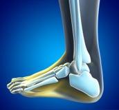 Douleur de pied Images libres de droits