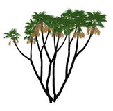 Doum, doom palm or gingerbread tree, hyphaene thebaica - 3D render. Doum or doom palm or gingerbread tree, hyphaene thebaica isolated in white background - 3D Royalty Free Stock Photography