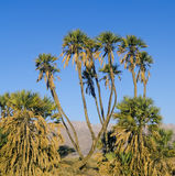 Doum palm in desert of the Negev, Israel Stock Images