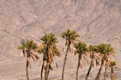 Doum Palm near Eilat Israel Stock Images