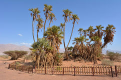 Doum Palm near Eilat Israel Stock Photo