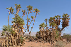 Doum Palm near Eilat Israel Stock Image