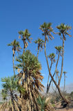 Doum Palm near Eilat Israel Stock Photos