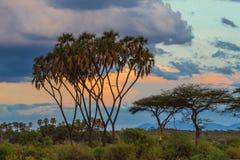 Doum Palm Tree Royalty Free Stock Images