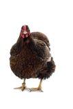 Dourado da galinha de Wyandotte atado isolado no fundo branco Fotografia de Stock Royalty Free
