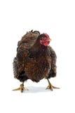 Dourado da galinha de Wyandotte atado isolado no fundo branco Fotos de Stock
