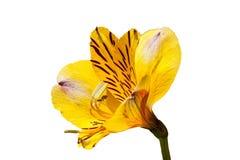 ` Dourado do prazer do ` do Alstroemeria Fotos de Stock