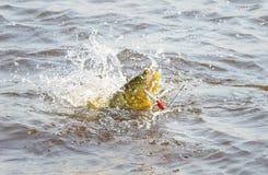 Dourado-Fische gehakt durch einen künstlichen Köder, der ou kämpft und springt stockfotografie