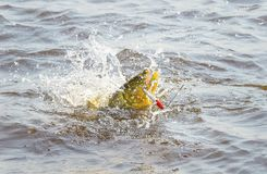 Dourado fish hooked by a artificial bait fighting and jumping ou Stock Photography