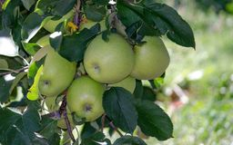 Dourado - maçãs deliciosas de Michigan imagem de stock