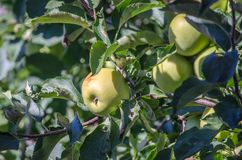 Dourado - maçãs deliciosas em um pomar em Michigan foto de stock royalty free