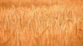 Dourado, maduro, campo da cevada (trigo inteiro) V vídeos de arquivo