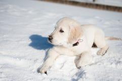 Dourado recupere o filhote de cachorro no inverno Imagem de Stock