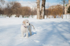 Dourado recupere o filhote de cachorro no inverno Imagens de Stock