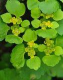 dourado-saxífraga Alternativo-com folhas Imagem de Stock Royalty Free