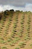 douro橄榄树谷 库存图片