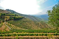Douro dal: Vingårdar och olivträd nära Pinhao, Portugal Arkivfoton