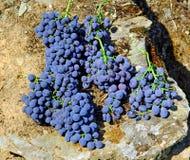 douro grappe收获了葡萄牙 图库摄影