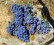 douro grappe skördade portugal arkivbild