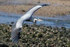 Douro heron flight Royalty Free Stock Photography