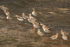 Douro river sandpipers Stock Image