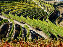 Douro river vineyards port wine Portugal. Douro river with vineyards meadows and grafic land lines of grappes plantation royalty free stock photo