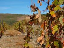 Porto wine region vineyards landscape. Douro river with vineyards meadows and grafic land lines of grappes plantation at São João da Pesqueira region.Here royalty free stock images