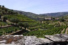 Douro Terraces of Vineyards, Oporto Wine, Beverages Industries Stock Images