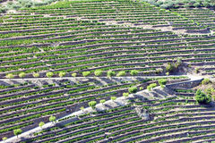 Douro Valley. Vineyars in Douro Valley, Portugal Royalty Free Stock Photo