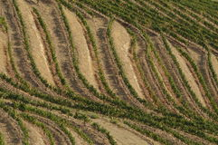 Douro vines Stock Image