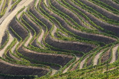 Douro vines Royalty Free Stock Photos