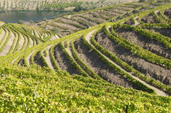 Douro vineyards royalty free stock image