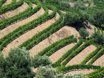 Douro vineyards. New generation Douro terraced vineyards Stock Image