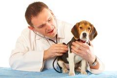 Doutor veterinário e um filhote de cachorro do lebreiro foto de stock