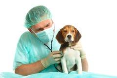 Doutor veterinário e um filhote de cachorro do lebreiro Imagem de Stock Royalty Free
