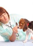Doutor veterinário e um filhote de cachorro do lebreiro fotos de stock
