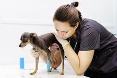 Doutor veterinário fêmea durante o exame na clínica veterinária imagem de stock royalty free