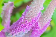 Doux abstrait brouillé et foyer mou coloré du crinita d'Uraria, des légumineuses, du Papilionoideae, de la fleur sauvage et de l' Images libres de droits