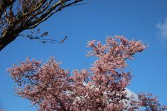 Doux et pur Rose de floraison fleurissant Sakura And Sunny image libre de droits