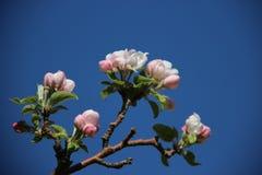 Doux Fleurs blanches roses de floraison fleurissantes de pommes photographie stock libre de droits