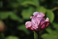 Doux Le rose de bourgeonnement a mont? photos libres de droits