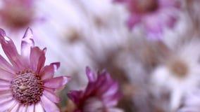 Doux-lilas Image libre de droits