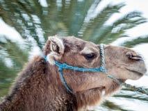 Douz, Tunísia, retrato do camelo Fotografia de Stock Royalty Free