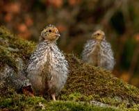 Douze jours cailles, cognassier du Japon de Coturnix photographié en nature image libre de droits