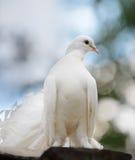 Dove белизны стоковые изображения rf