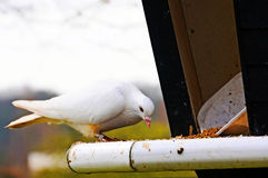 Dove белизны Стоковое Изображение