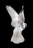 Dove в полете стоковая фотография